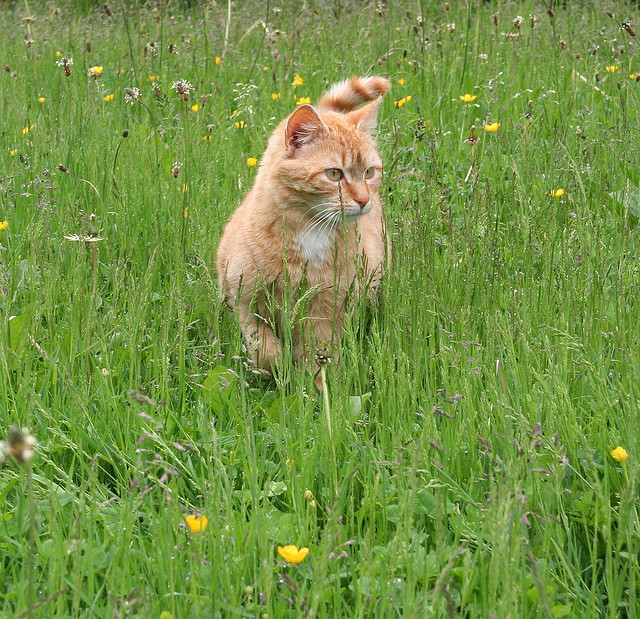 cybergata:  Spirou in the wild grass by Alexandre Dulaunoy on Flickr.