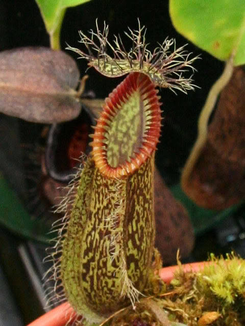 fuckyeahcarnivorousplants:  Nepenthes hamata  AAAAAAUUUUUUGGGGGGHHHHH!!!!  D: Run away from the carnivorous vagina slug!
