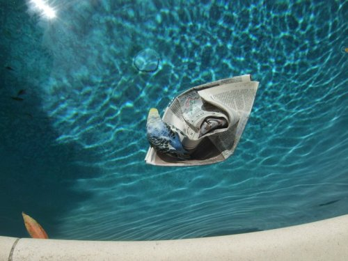 Budgie riding a newspaper boat in a swimming pool