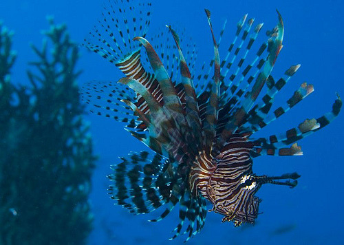 Lion fish hanging around underwater Moyo Island, West Nusa Tenggara, Indonesia. (by Shane.Furze)