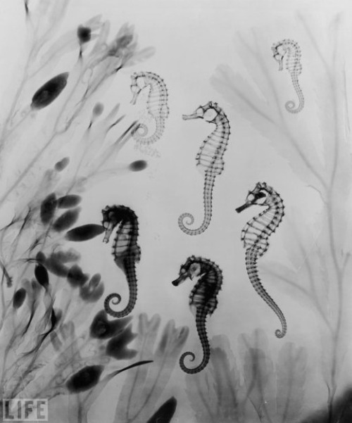tessisahippie:  X-ray of seahorses from 1910. (Photo: Edward Charles Le Grice/Getty Images)