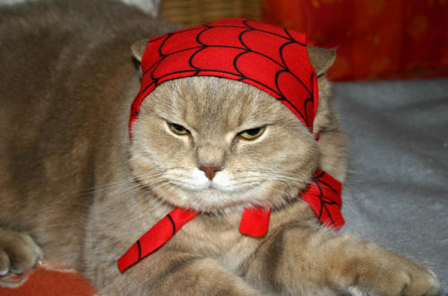 pudgykitties:  Spider Pudge, Spider PudgeDoes whatever a spider pudge does