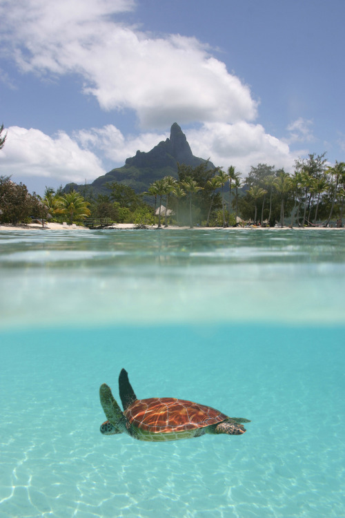 sunsurfer:  Sea Turtle, Bora Bora  photo by tahiti