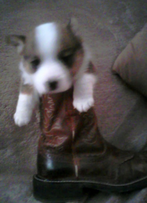 """hhhhmmmm look what I found in my boot this am….."" ""grizzly"" 4wks old male corgi pup wildwestcorgis"
