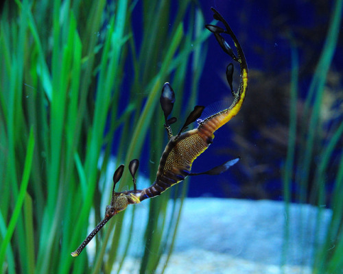 beneaththeseas:  Weedy sea dragon by Srikanth@Flickr on Flickr.