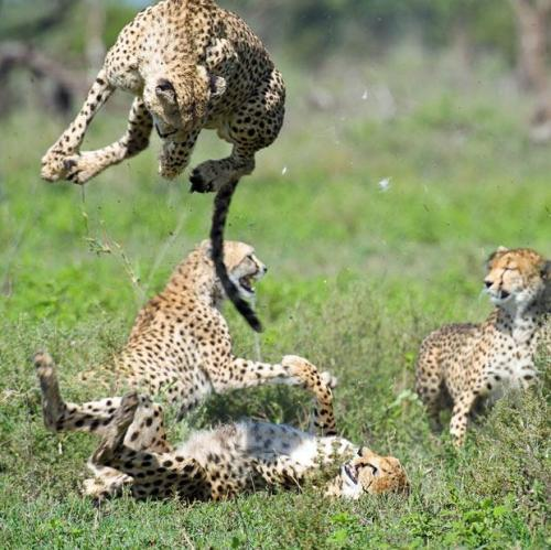 thebigcatblog:  A fight erupts among a group of cheetahs in the Ngorongoro Crater Conservation Area, in Tanzania. Picture: Elliott Neep/solent