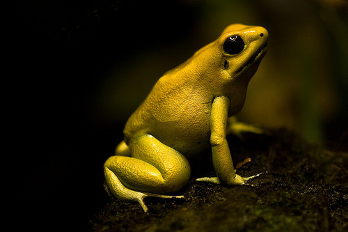 Atelopus carbonerensis (true toad)