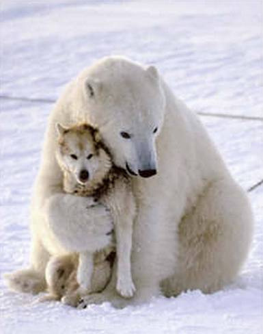 magicalnaturetour:  Polar bear hugs husky dog (by shirster) via http://vimeo.com/282517 :)