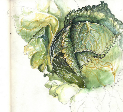 birdcagewalk:  playinprogress:cabbage study 1 by Amy Holliday on Flickr.