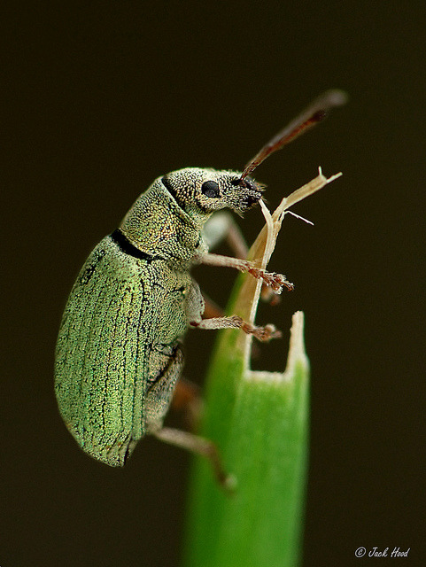 Green Nettle Weevil on Flickr.