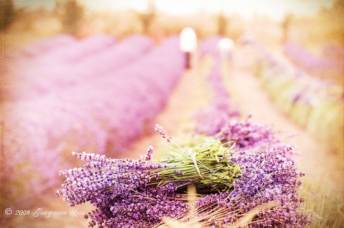 Lavender Harvest by georgianna lane on Flickr. The smell of lavender makes me happy ♥