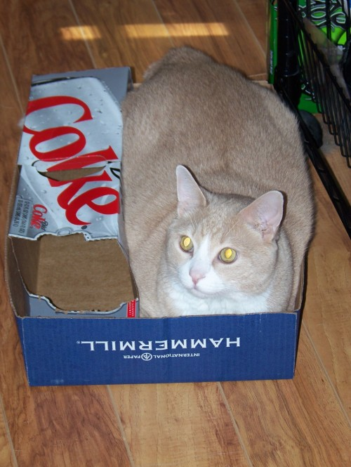 get out of there cat. don't pretend the diet coke is helping. you are still too fat to squeeze yourself in that box and pretend it's a good fit.