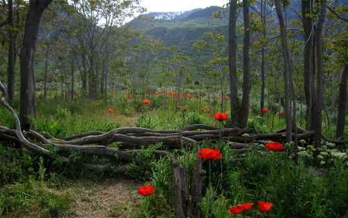 Oriental poppies in Alpine, Utah. In 1910, George Cannon Lambert made a summer home and planted orange oriental poppies and a yellow tea rose next to his home. The house is now a ruin but the roses are thriving and the poppies have naturalized into the surrounding sagebrush and trees.