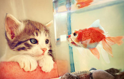 Cat watching the goldfish inside the aquarium. I both love cats and fish. But it's difficult to maintain an aquarium.   visit my blog at www.chikorimasou.blogspot.com