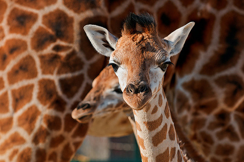 The two young giraffes (by Tambako the Jaguar)