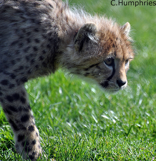 Africa Alive: Cheetah Cub by —CWH— on Flickr.