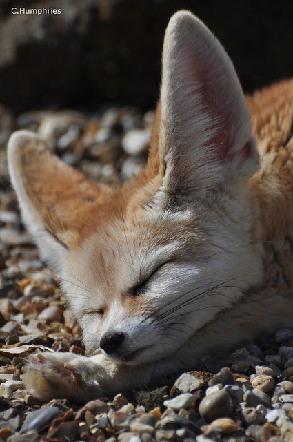 Africa Alive: Fennec Fox by —CWH— on Flickr.