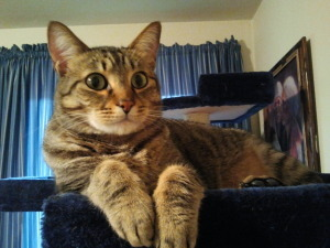 "Meet ""Harley"", a striking Bengal/Tabby mix from Seattle, WA. Harley here is a big time snuggler looking for love! He is sweet and playful and wants a home. He's a sun-basker and was well socialized in his foster home, but he just doesn't like doggies. Check him out today!"