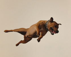 Flying Pitbulls!! :) triangletriangle:  Steven Brahms