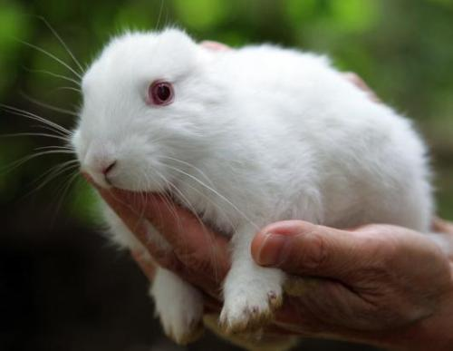 nightline:  BUNNY WITHOUT EARS FOUND NEAR JAPANES NUCLEAR PLANT A newborn bunny without ears in Namie City, Japan, just outside the 18-mile exclusion zone around the Fukushima Daiichi nuclear plant. The rabbit was found in May by 56-year-old Yuko Sugimoto. It has become a symbol of people's fears of radiation after the Fukushima plant was damaged by the earthquake and tsunami in March, even though scientists say there's no evidence the bunny's defect was caused by radioactivity. (Koichi Kamoshida/Jana Press/ZUMAPRESS.com)