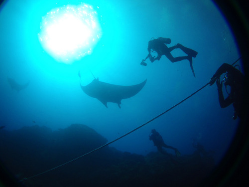 Circling Around The Ray on Flickr.Manta rays from our trip to the Revillagigedo Islands in Mexico. More on them in a bit.