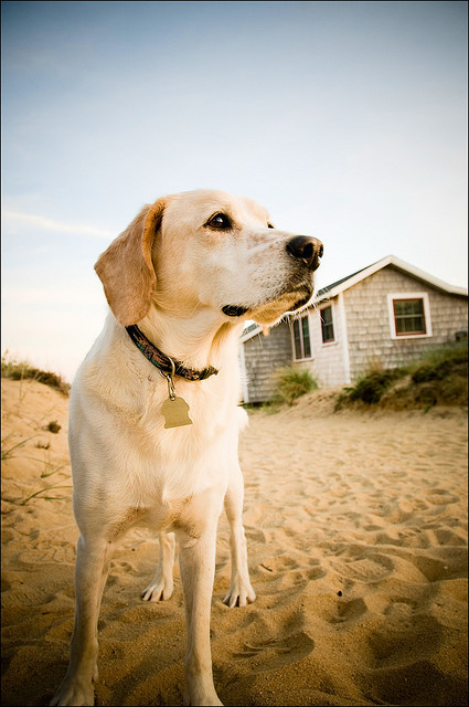 Buddy, Jimbo's Dog at Cooks Camps :: Wellfleet MA, Cape Cod by md91180 on Flickr.