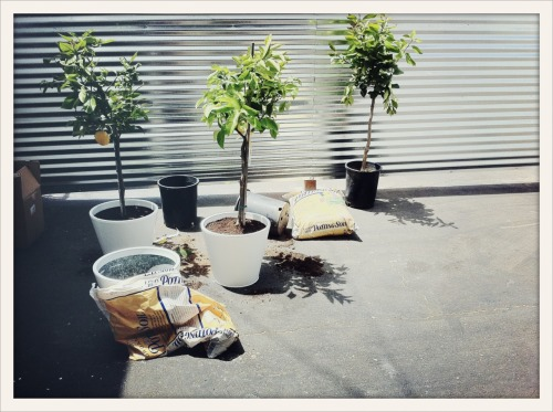planting three dwarf lemon trees for our patio inside some old pots we painted white.