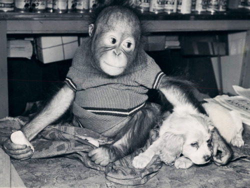 Baby orangutan with a puppy 1949