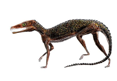 rhamphotheca:  Pedeticosaurus  (van Hoepen, 1915) is an extinct genus of sphenosuchian crocodylomorph from the Clarens Formation (Early Jurassic) of South Africa. With long slender limbs, it was similar in form to other sphenosuchians, such as Saltoposuchus and Terrestrisuchus. (image: Smokeybjb) (via: Wikipedia)