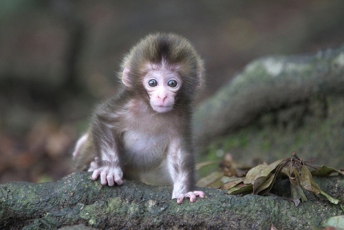 myanimalkingdom:  Baby Japanese Macaque