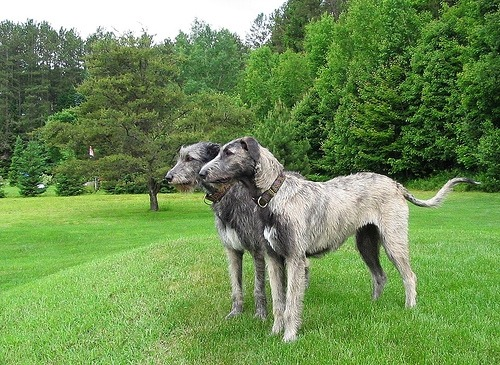 "dog of the day : The Irish Wolfhound has a large, muscular greyhound-like shape, and he is the tallest of dogs, but not the heaviest. A superb athlete and an endurance runner, an old Irish proverb describes him perfectly: ""Gentle when stroked, fierce when provoked."" Although now primarily a family companion, the Irish Wolfhound will still instinctively give chase to fleeing prey. His large size commands more room, more exercise, and a bigger car.  The breed's recognized colors are gray, brindle, red, black, pure white, fawn and others. The breed's harsh, natural coat requires regular brushing. The minimum height and weight of dogs should be 32 inches and 120 pounds; of bitches, 30 inches and 105 pounds; these to apply only to hounds over 18 months of age. An easygoing animal, Irish wolfhounds are quiet by nature. Wolfhounds often create a strong bond with their family and can become quite destructive if left alone for long periods of time. Despite the need for their own people, wolfhounds generally are somewhat stand-offish with total strangers. They should not be territorially aggressive to other domestic dogs but are born with specialized skills and it is common for hounds at play to course another dog. This is a specific hunting behavior, not a fighting or territorial domination behavior. Most wolfhounds are very gentle with children and are aware of their size and power. The Irish wolfhound is relatively easy to train. They respond well to firm, but gentle, consistent leadership. looking for an Irish Wolfhound puppy? Click here !"