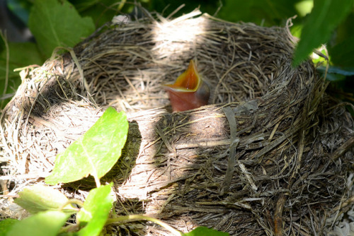 """I want food"" on Flickr. We have a robin's nest in our front yard that I spotted last weekend.  I lifted Fischer up so he could basically stand on my shoulders to peer into the nest.  He came down with total amazement, wonder, and excitement to tell me there were three blue eggs.  We later saw the mother sitting on the nest.  Ever since then he has been pretty obsessed with checking the nest to see if the eggs have hatched.  Well, today was the day—Sophie discovered that the eggs had hatched.  Here is one of the three begging for food.  It wasn't that easy to crawl into the tree and this is not a great photo.  Hopefully I'll take a few more as they mature.  I know Fischer will be keeping tabs on their progress."