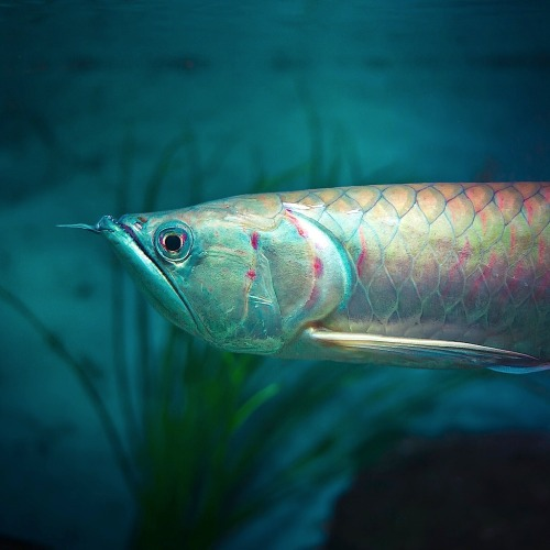 "itjustgoeson: Arowana   (Photo: Andrew @cubagallery)  Freshwater bony fish of the family Osteoglossidae, also known as bonytongues. In this family of fishes, the head is bony and the elongate body is  covered by large, heavy scales, with a mosaic pattern of canals.  The name ""bonytongues"" is derived  from a toothed bone on the floor of the mouth, the ""tongue"", equipped  with teeth that bite against teeth on the roof of the mouth. The fish  can obtain oxygen from air by sucking it into the swim bladder, which is lined with capillaries like lung tissue. The arowana is an ""obligatory air breather"". They are excellent jumpers; it has been reported that Osteoglossum species have been seen leaping more than 6 feet (almost 2 metres) from  the water surface to pick off insects and birds from overhanging  branches in South America, hence the nickname ""water monkeys"". Fact Sources: Wikipedia.org"