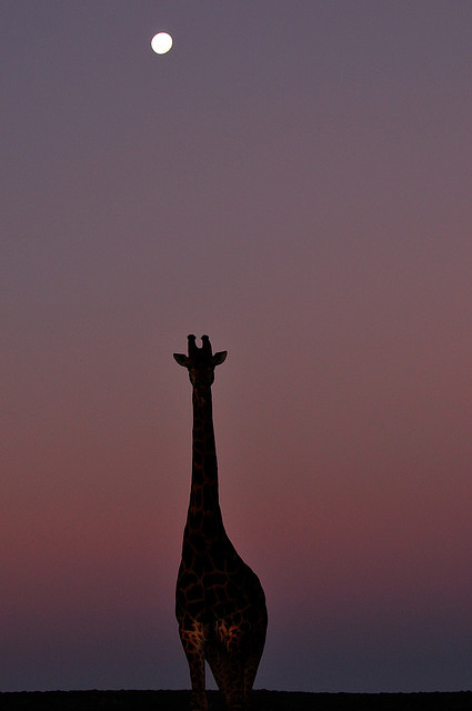 yuramaro:  Giraffe and moon by daniel b on Flickr.