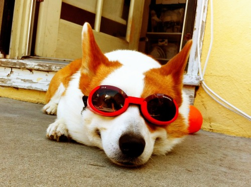 Doggles too cool for school.