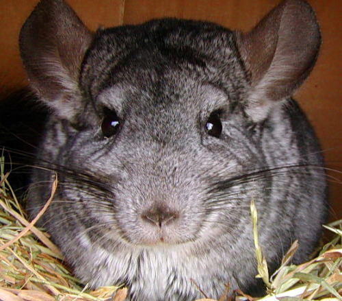 My Chinchilla Charlie Chip. I miss the little booger.