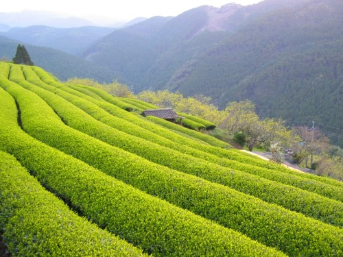 Japanese Green Tea in Fukuoka Prefecture!