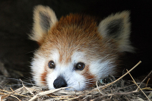theanimalblog:  Her Royal Cuteness (Red Panda @ DC / US National Zoo) (by Nikographer [Jon])
