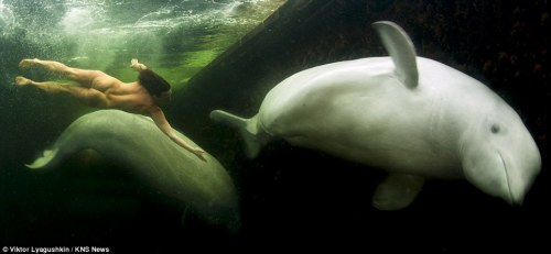 Swimming with belugas at -1.5 °C. More photos in the Mail Online article.