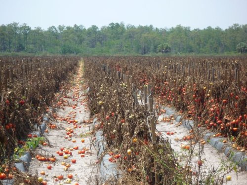 A modern industrial tomato farm AFTER harvest. It's horrifying and disgusting that in a country that has people starving THIS much food is left to rot and waste.
