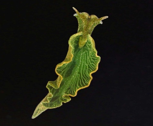 "A common Green Sea Slug (Elysia Chlorotica), is one of the rare species of Salt Water Mollusks that are able to Photosynthesize—yes, ""Photosynthesis"", a biological process which back in high school was thought to us that only Plants can do. Although the organism isn't really born with photosynthesizing ability, because it actually steals Chloroplasts from Algae that it eats (a method called ""Kleptoplasty""), and uses the acquired Chlorophyll to take energy from Sunlight. Still, it is amazing; its discovery is somewhat relevant to what Scientist and Biologist Lynn Margulis have predicted that the existence of these animals years ago via her theory of Endosymbiosis. She's argued that mitochondria and  other organelles evolved from bacteria through a symbiotic relationship.  It is a proof that the evolutionary ancestors of species of both plants and animals are indeed connected to a single, primitive bacterial specie."