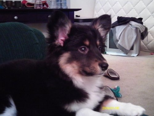 "corgiaddict:  T-Nitty as a puppy ;D submitted by <a href=""http://nomoreidiots.tumblr.com/"">nomoreidiots</a>  a very fluffy puppy!  :DDDD"