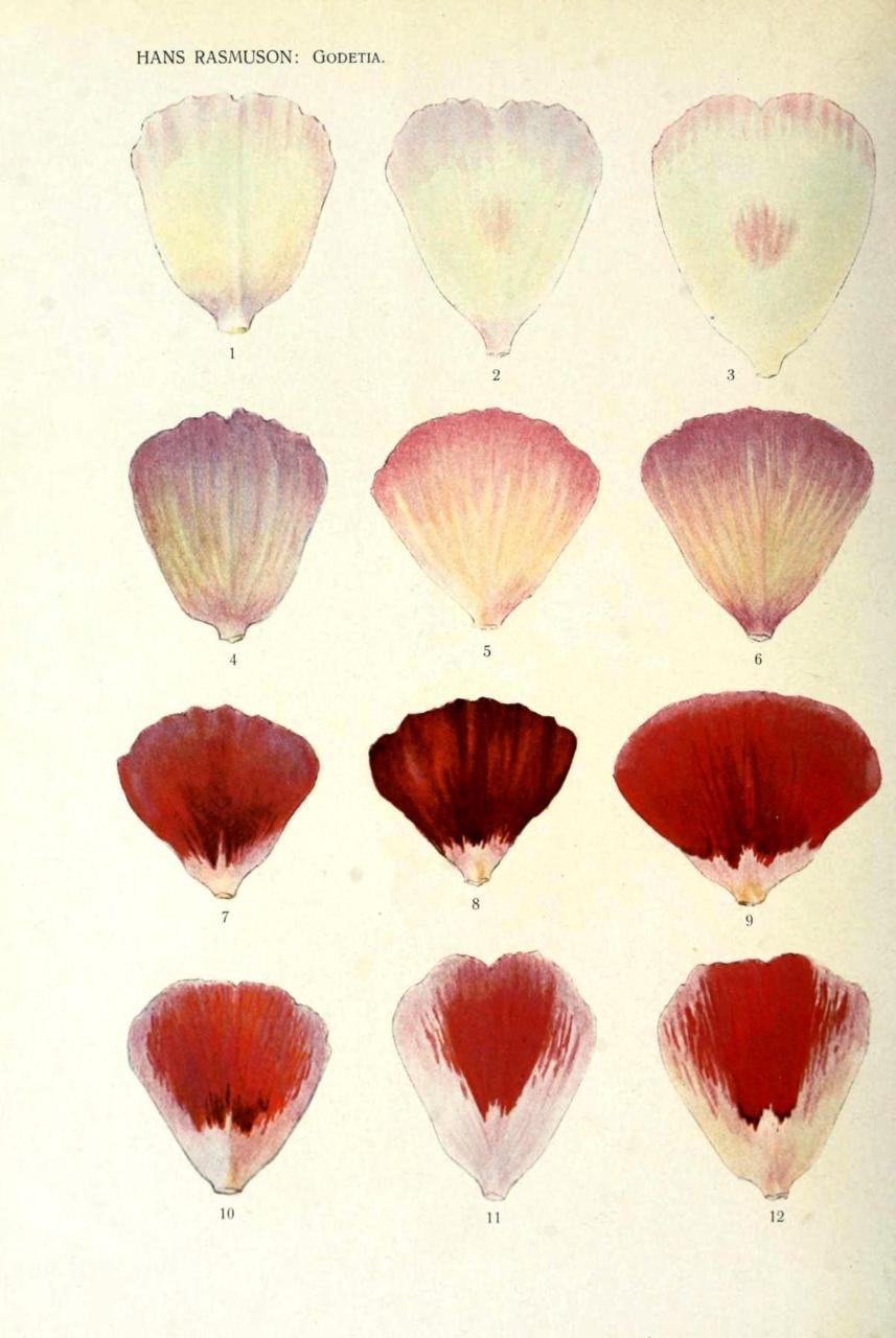 printsandthings:  Genetic inheritance of color. Flower petals  From Hans Rasmuson's studies of flower petal inheritance patterns in Godetia, circa 1920