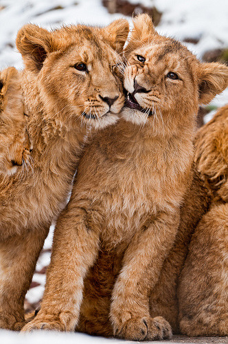 theanimalblog:  Two siblings (by Tambako the Jaguar)