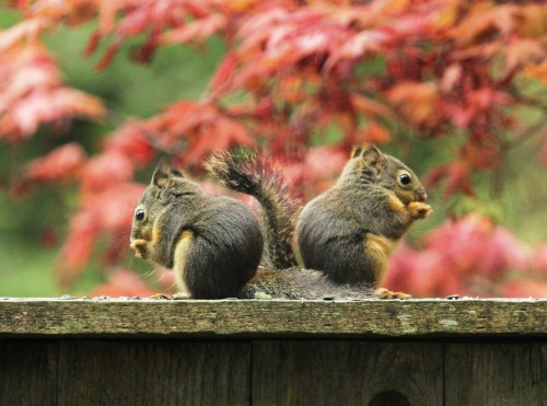 suzannamphotography:  No more than 8-week-old baby Douglas squirrel siblings. (Photo #170: Taken on my deck)