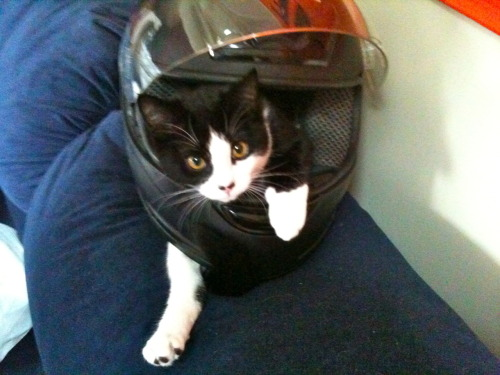 get out of there cat. you cannot be in that motorcycle helmet. that is for hardcore bikers only and you are not a biker you are a cat.