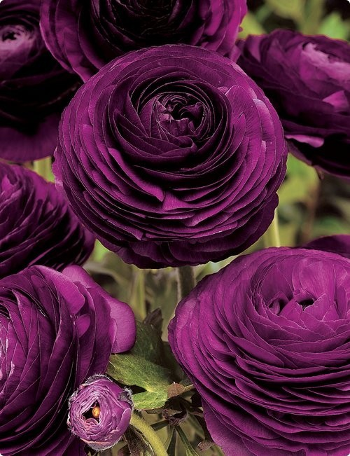 purple ranunculus