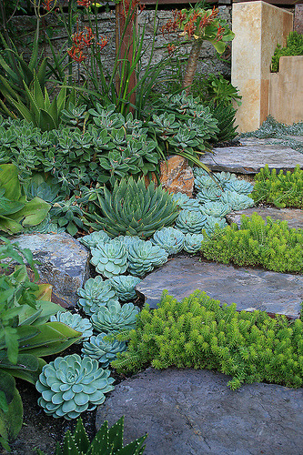 THere is a dry patch in my garden, and succulents may be just the ticket.  (by anniesannuals)