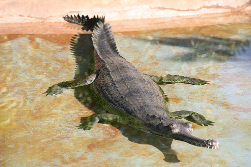 Gharial Swimming