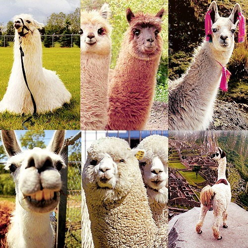 potterblogger:  Top 6 pictures | Llamas (asked by acciollama)